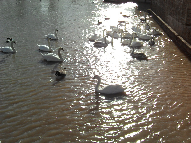 Swans at Stratford upon avon